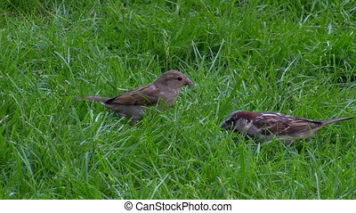 Two sparrows on the grass picking isolated