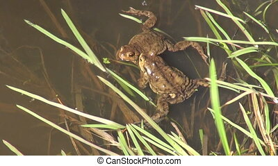 Two spawning bufo bufo toads - Two spawning common toads in...