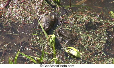 Two spawning toads in a pond