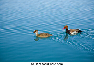 Pochard ducks