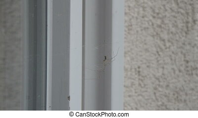 Two Spiders on a Cobweb - Close-up of a spider resting on a...