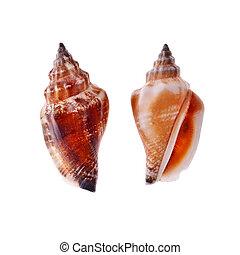 Two Spiral Seashell