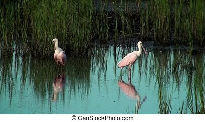 Two Spoonbills preening in the shallow water