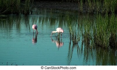 Two Spoonbills searching for food