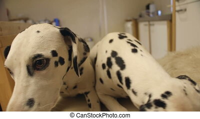 Two Spotty Dogs - Curious dalmatian dogs sniffing at the...