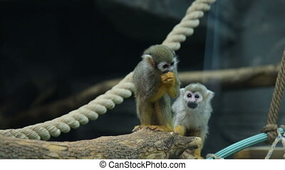 Two Squirrel monkeys in the aviary