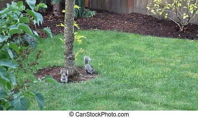 Two Squirrels Eating - Two squirrels eating black oil...