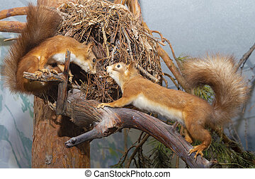 Two squirrels in a tree. They look at each other. View from the side. Tails up.