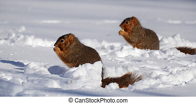 Two squirrels in snow eating