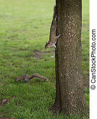 Two Squirrels: One Coming Down from the Tree and the Other on the Lawn