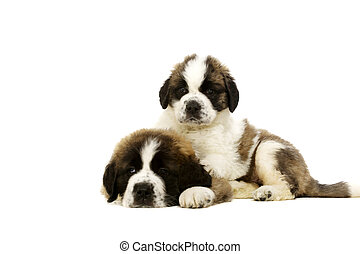 Two St Bernard puppies isolated on white