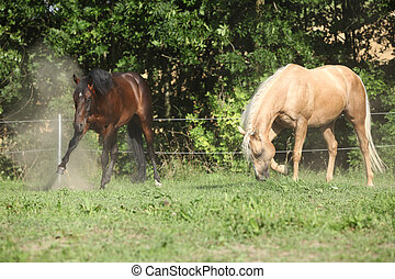 Two stallions moving on pasturage