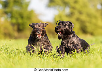 two standard schnauzer running on the meadow