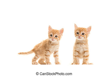 Two standing ginger turkish angora baby cats isolated on a white background