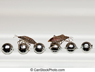 Two Stink bugs on xmas decorations - Two Shield or stink...