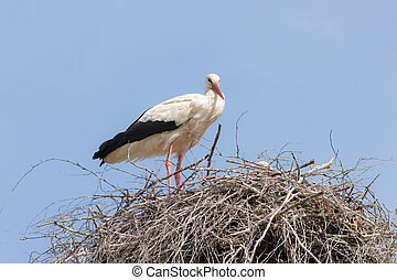Two storks in the nest