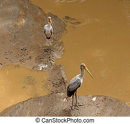 two Storks on muddy ground