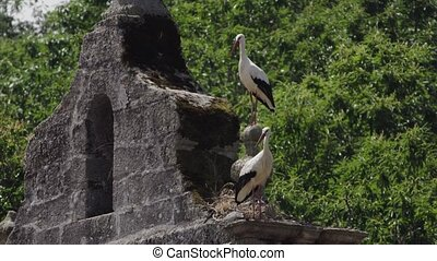 Two storks over belfry start flying at the same time - Long...
