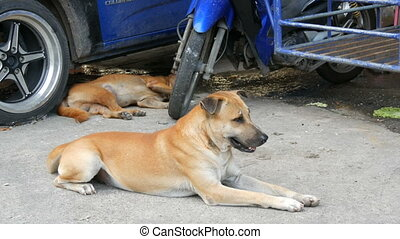 Two stray dogs lie on the street under blue car. Homeless...