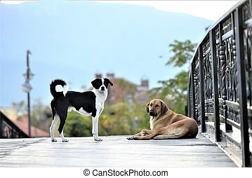two stray dogs on a wooden bridge