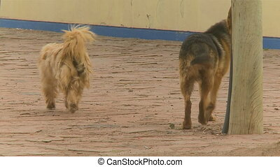 Two Stray Dogs Playing A Long The Street, Bolivia - Medium...