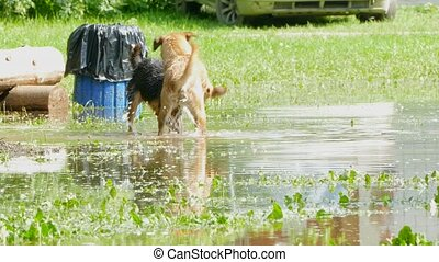Two stray dogs run and play in the water. - Two stray dogs...
