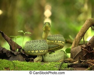Two-striped forest pitviper (Bothriopsis bilineata) - coiled...