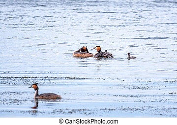 Two stunning adult Great crested Grebe, Podiceps cristatus, swimming in the lake, one of the parents has their cute babies riding on its back