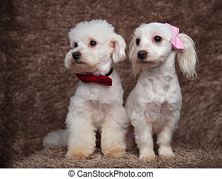 two stylish bichons sitting and looking to side