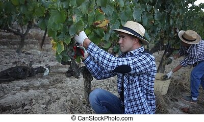 Two successful winemakers gathering harvest of grapes ...