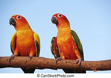 Two sun Conure Parrot Screaming on
