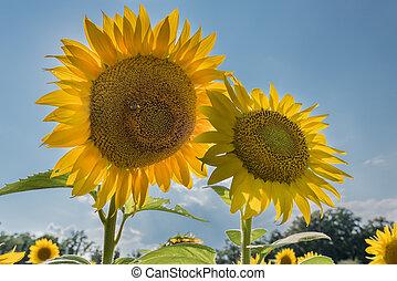 Two Sun Flowers on Blue Sky