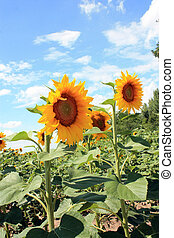 two sunflower on the blue sky background