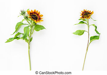 Two sunflowers on white background