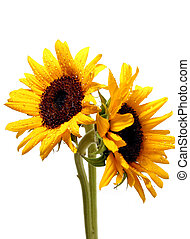 Two sunflowers on white - Two sunflowers with water droplets...