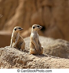 Two suricata standing alert. Suricate couple over a brown...