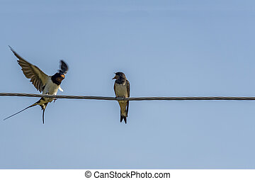 two swallows on a wire arguing