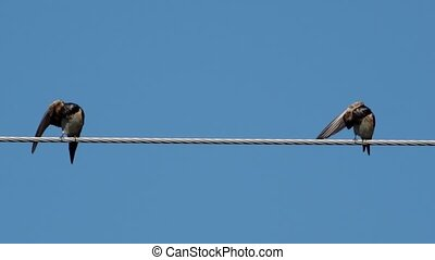 Two swallows over high power cable cleaning themselves - Two...