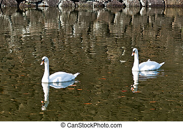 Two swan floating on a pond