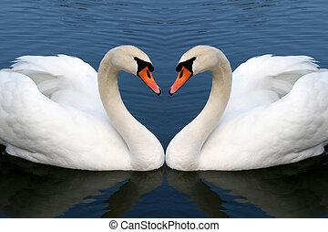 swan in love - two swan in love forming