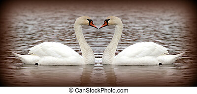 Two swan on the lake