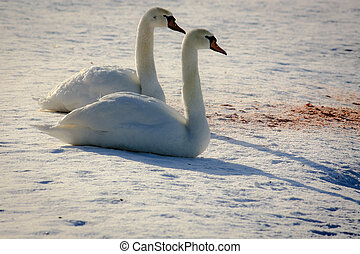 Two swan sitting on snow at sunset