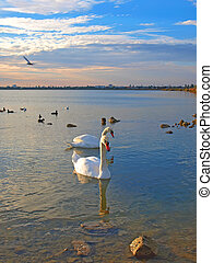 Two swans and sea-gulls in the sunset