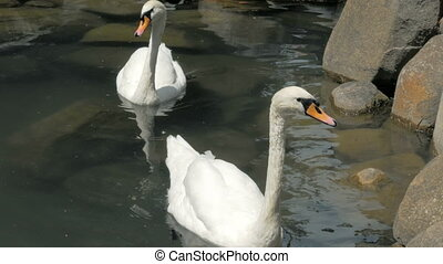 Two Swans Are Swimming In A Small Lake In Park