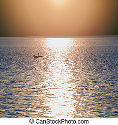 Two swans at sunset teenager swimming in the lake