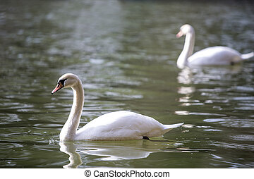 Two swans at the lake