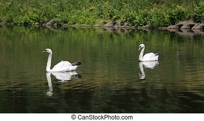 Two swans float on the lake
