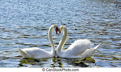 Two Swans form a love heart shape with their necks, lake ...