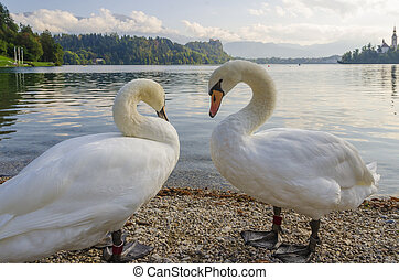 Two swans on a Bled Lake.