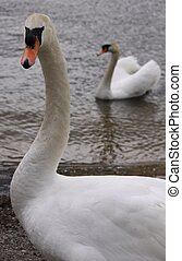 Two swans on a lake